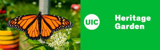 Monarch Butterfly with wings open. To the right, in front of an green background, are the letters UIC Heritage Garden in a white font.